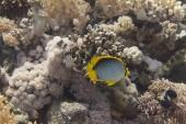 Blackbacked Butterflyfish on Coral Reef in Red Sea off Sharm El Sheikh, Egypt