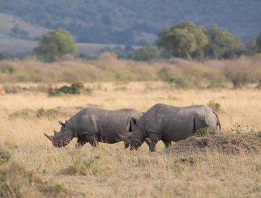 rhinoceroses  in the savanna.  good picture of wildlife.