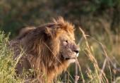 Fotografia Foto di leone. Foto di fauna selvatica. Tanzania