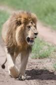 oroszlán férfi képe. a vadon élő állatok kép. Tanzánia