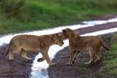 mláďata lva, Afrika. obrázek z divoké zvěře. Zvířata