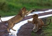cuccioli di Leone, Africa. Foto di fauna selvatica. Animali