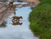 kölykeit, oroszlán, Afrika. a vadon élő állatok kép. Állatok