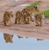 cubs of lion walking,   Africa.  picture of wildlife.