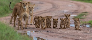 cubs of lion,   Africa.  picture of wildlife. Animals