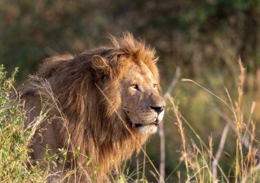 picture of lion. picture of wildlife. Tanzania
