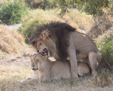 Lion and lioness in  savanna, Africa.