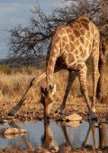 The giraffe is drinking water. picture of wildlife.
