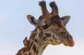 A zsiráf, a szavanna. a vadon élő állatok kép. Afrika