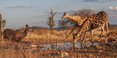 giraffes in  savanna.  picture of wildlife. Africa