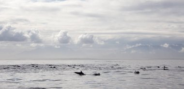 group of dolphins. This is a flock of dolphins.