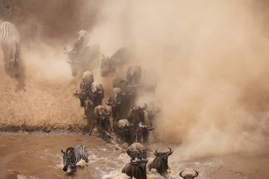 Great Wildebeests Migration.  Picture of wildlife.
