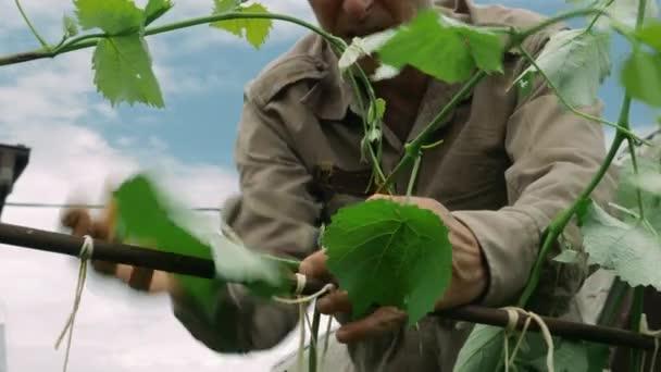 Felnőtt férfi farmerkezek, akik szőlőt kötöznek a gyümölcsösben tavasszal. Idős ember szőlőt ültet. Idősebb férfi, aki a kertben dolgozik. Mezőgazdasági koncepció