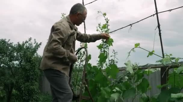 Old farmer working with secateurs in orchard. Senior male is pruning bunches of grapes in spring. Agricultural concept. Mature man working in the garden