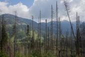 Fotografie Mrtvé smrky nakažen Lýkožrout smrkový v Tatra National Park, Polsko