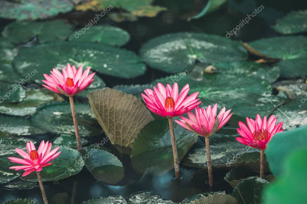 beautiful pink lotus flowers with green leaves in pond