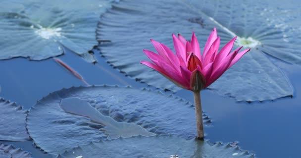 Krásné růžové Lotosový květ se zelenými listy v rybníku