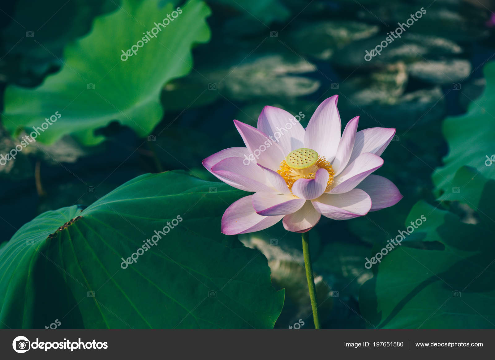 Top view beautiful pink lotus flower green leaves pond stock photo top view beautiful pink lotus flower green leaves pond stock photo izmirmasajfo