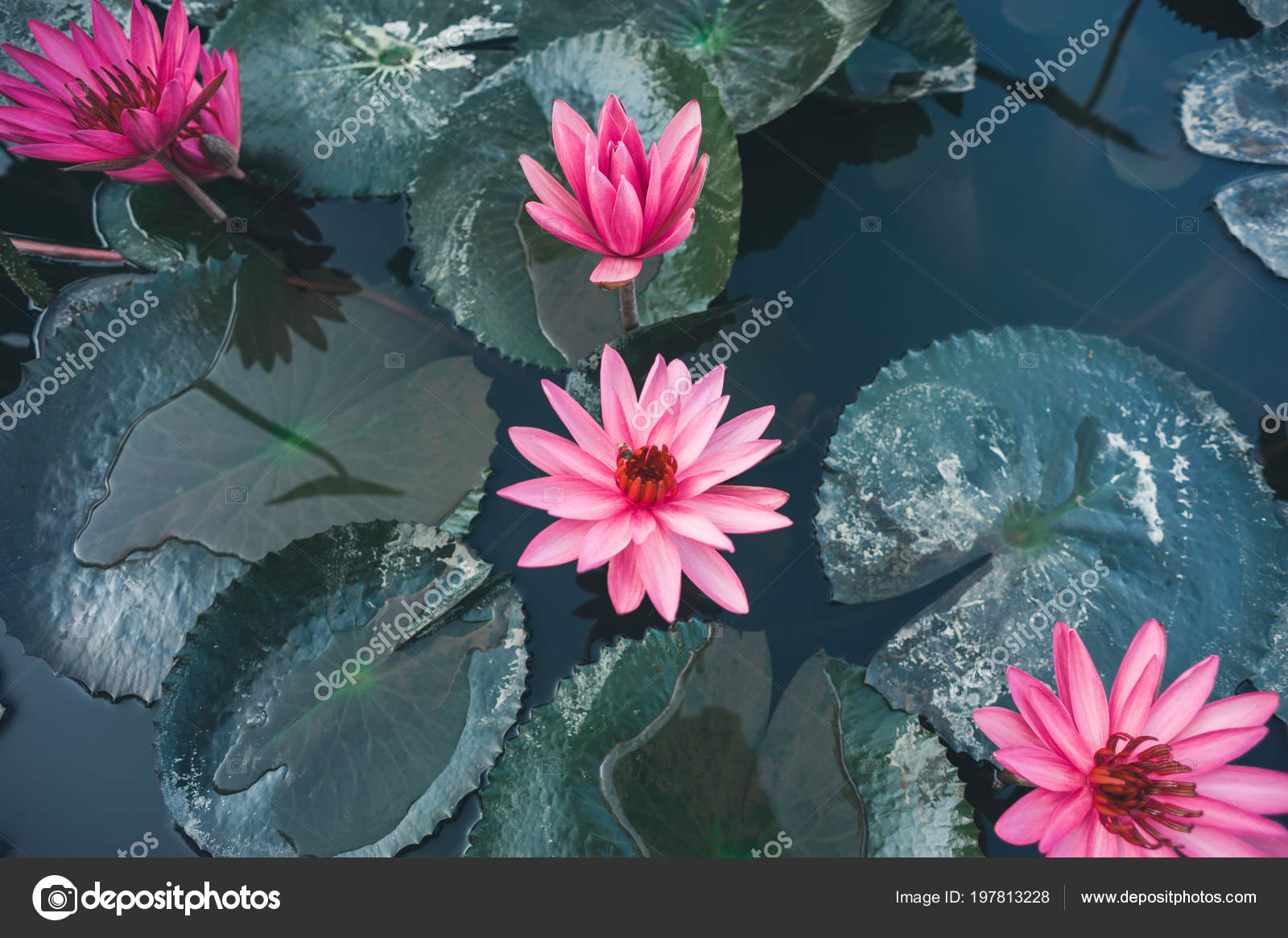 Top view beautiful pink lotus flowers green leaves pond stock top view beautiful pink lotus flowers green leaves pond stock photo izmirmasajfo