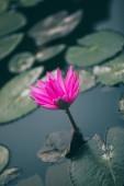 Fotografie Nahaufnahme der schönen rosa Lotus blume mit grünen Blättern im Teich