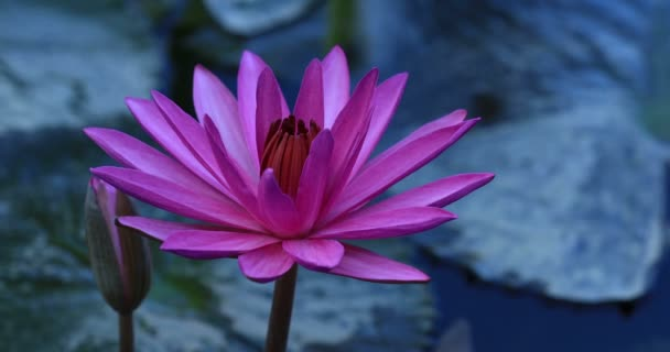 Close up view of beautiful pink lotus flower with green leaves in pond