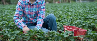 farmer picking ripe strawberries in the field