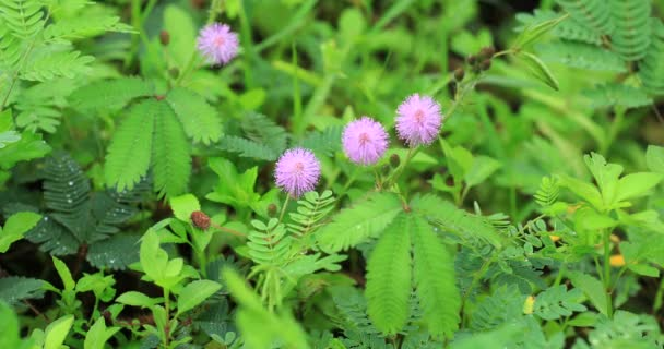 Sensitive Pink Mimosa Flowers Summer Stock Video Lzf 210624062