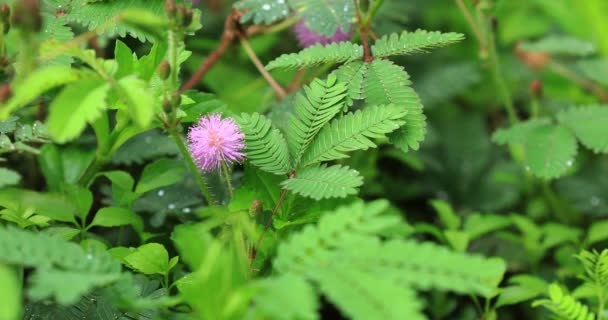 Human Hand Touching Sensitive Pink Mimosa Flowers Summer Stock