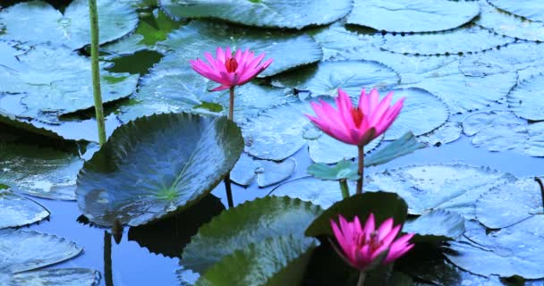beautiful pink lotus flowers with green leaves in pond, close-up