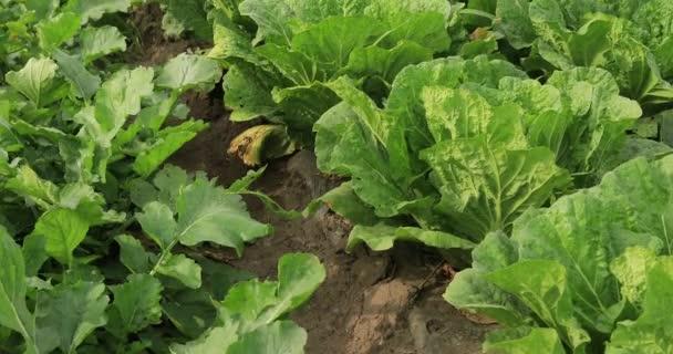 zöld saláta növények egyre nagyobb területen