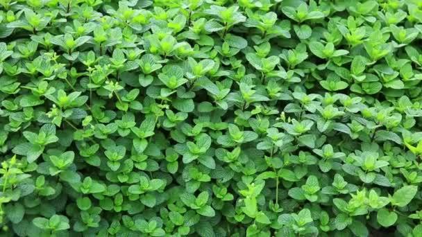 zelené máty