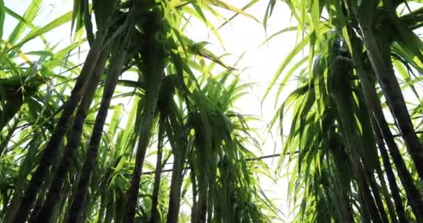 Green sugarcane plants growing at field in bright sunlight