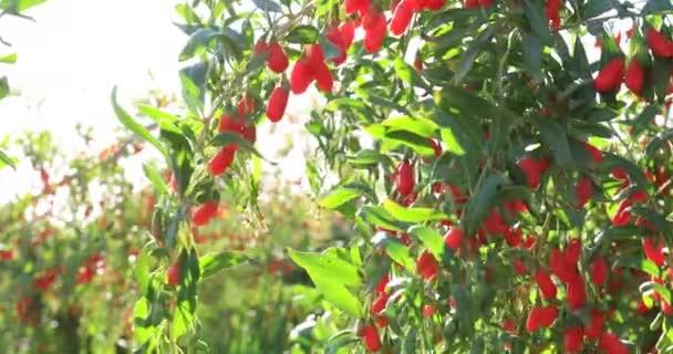 Nahaufnahme von köstlichen roten Goji-Früchten