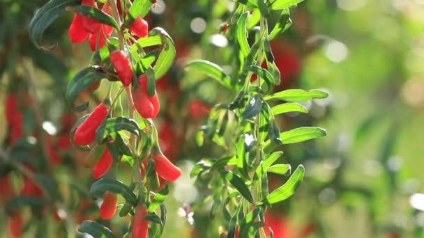 Nahaufnahme von Goji-Beeren Früchte und Pflanzen in Sonnenschein Garten