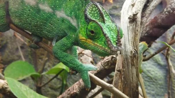 Uzavření jasně zeleného chameleonu