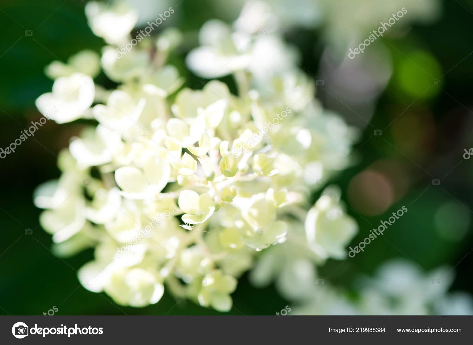 Zarte Weisse Hortensie Blumen Auf Weichzeichnen Natur Grun