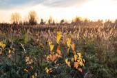 Prérijní krajina s travinami, loukami, stromy a modrou oblohou s bílými mraky. Divoké pole trávy při západu slunce, měkké sluneční paprsky, teplé tóny, světlice čočky, mělké DOF