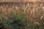 Prairie krajina s vysokou trávou, louky. Divoké pole vysoké trávy při západu slunce, měkké sluneční paprsky, teplé tóny.