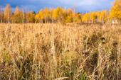 Prérijní krajina s travinami, loukami, stromy a jasně modrou oblohou s bílými mraky. Divoké podzimní pole vysoké trávy.