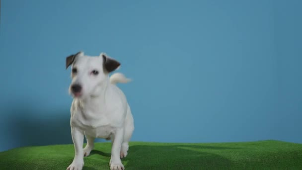 jack russell terrier dog on turquoise background