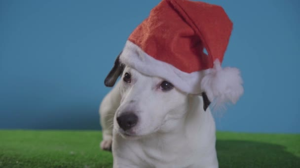 jack russell terrier dog with santa hat on turquoise background