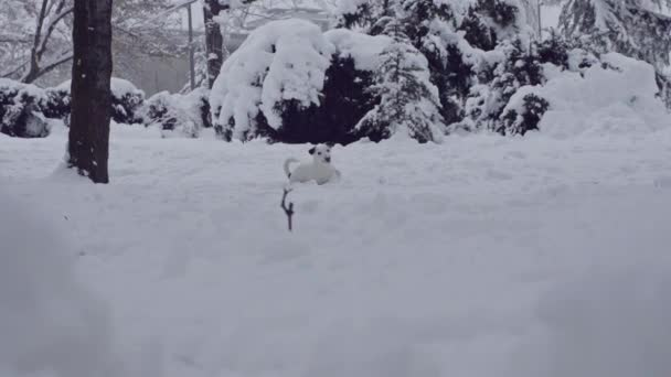 jack russell terrier dog playing in snow puppy happy cheerful