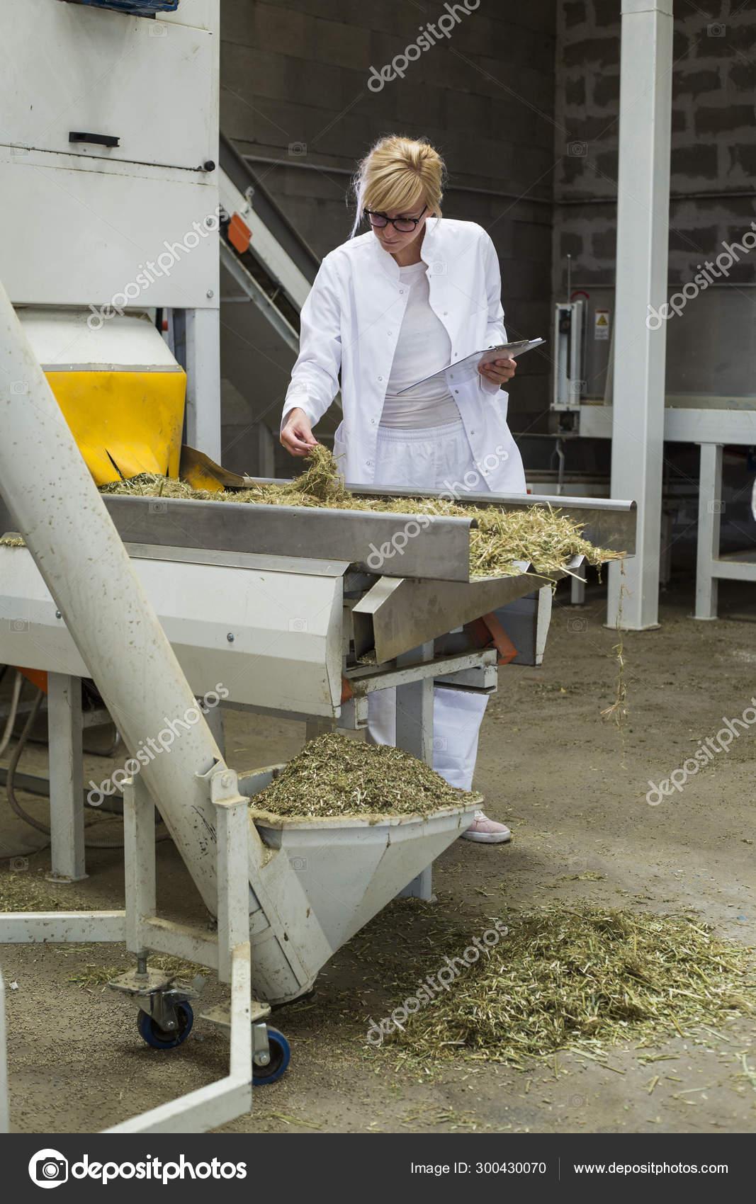 Scientist observing dry CBD hemp plants by the sorting