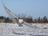 Photo  Close up image of a low flying snowy owl hunting for prey.  Winter in Minnesota