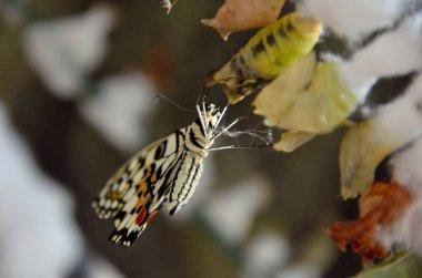 """Картина, постер, плакат, фотообои """"Жизненный цикл бабочек. Куколки и бабочки, висит в баре"""", артикул 243474606"""