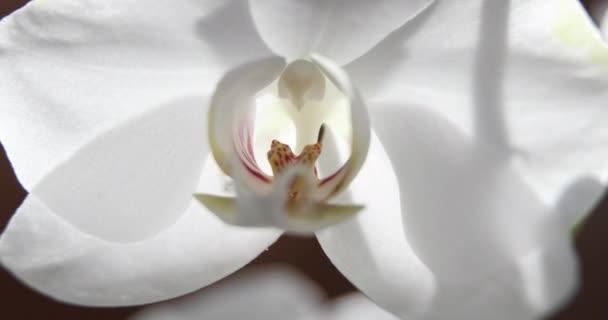 weiße Orchideen auf Sonnenlicht, eine neue Blüte, ein Schmetterling, Makro, Phalaenopsis, Doritis, Grafik, Kingidium, Kingiella, Lesliea, Synadena, Stauroglottis, Stauritis, Polystylus, Polychilos, Sonnenreflexionen
