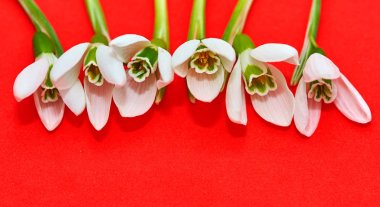 Snowdrop- spring white flower on red  background with place for text