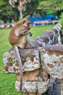 A long-tailed macaque monkey seated on a rock near Angkor Wat, Cambodia in the background is a green blurred landscape