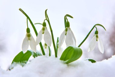 Snowdrops in the snow, spring white flower on blur background with place for text, Close up with selective focus and snowflakes