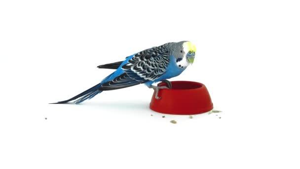 Eszik a vályú papagáj